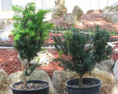 Two Hick's yews after pruning